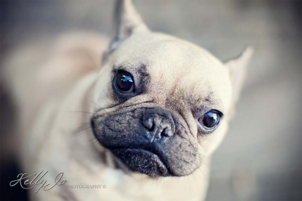 French Bulldog Pet Portrait | © Kelly Jo Photography Buckinghamshire