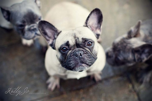 French Bulldog Portrait | © Kelly Jo Photography Buckinghamshire