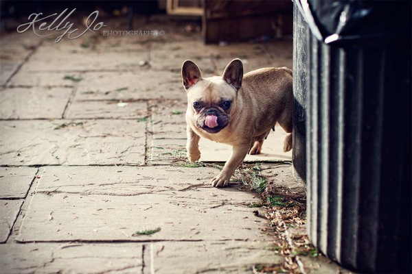 French Bulldog | © Kelly Jo Photography