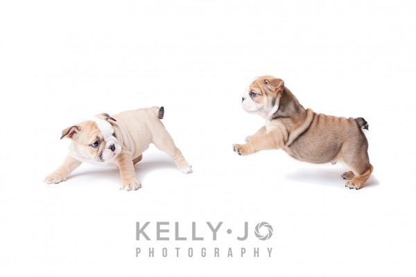 Pet Portrait Photography English Bulldog Puppies | © Kelly Jo Photography