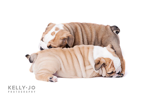 Two English Bulldog Puppies Playing | © Kelly Jo Photography