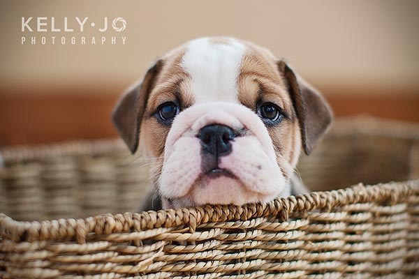 English Bulldog Puppy in a Basket | © Kelly Jo Photography