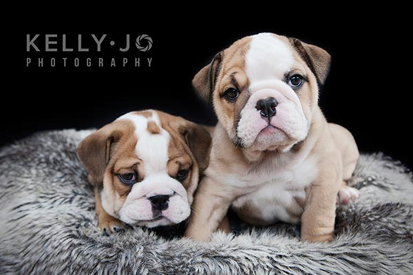 English Bulldog Puppies Portrait Session |© Kelly Jo Photography