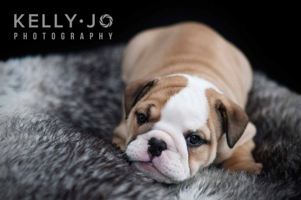 English Bulldog Puppy Portrait |© Kelly Jo Photography