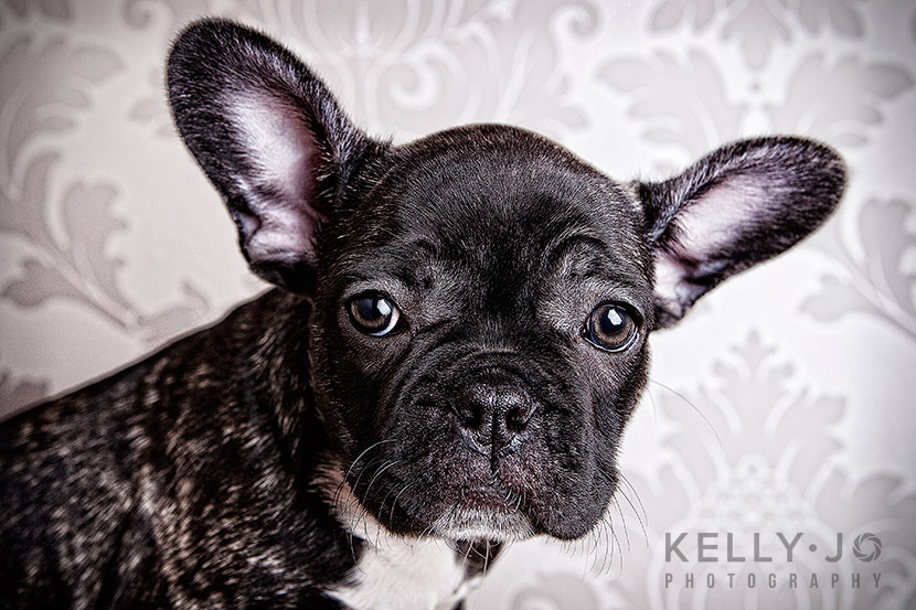 French Bulldog Puppies | © Kelly Jo Photography