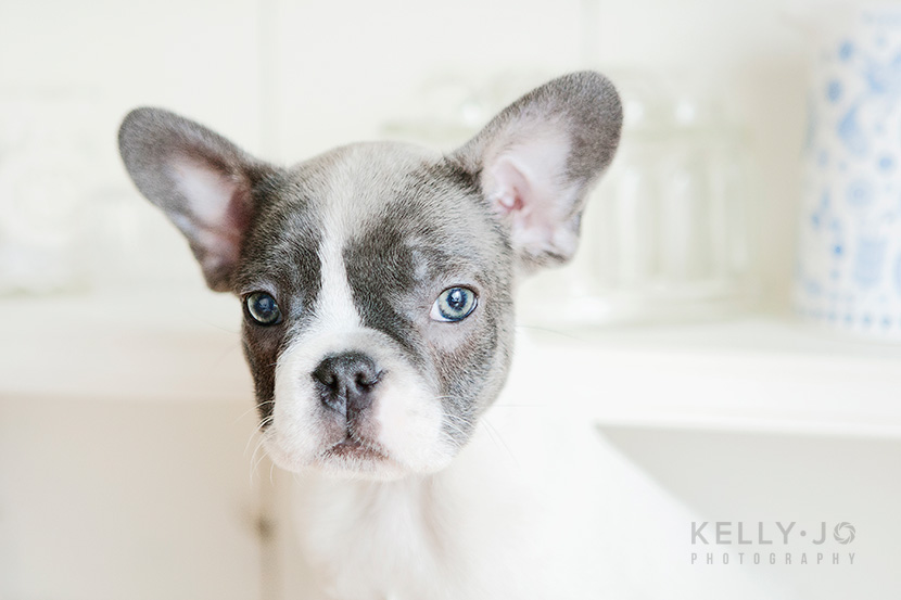 French Bulldog Puppies | © Kelly Jo