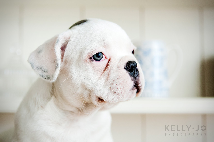 French Bulldog Puppies UK | © Kelly Jo